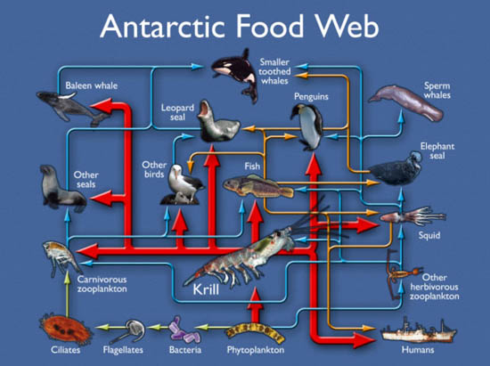 Penguins Food Web http://joycekuo.edublogs.org/2011/11/09/penguin/